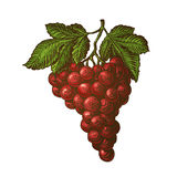 Bunch of grapes. Vector illustration Royalty Free Stock Photo