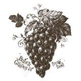Bunch of grapes vector logo design template. fresh Royalty Free Stock Photos