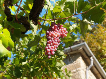 Bunch of grapes on vine Royalty Free Stock Images