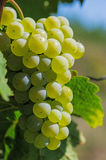 Bunch of grapes on a vine Royalty Free Stock Images