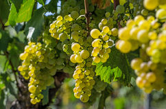 Bunch of grapes on a vine Stock Image