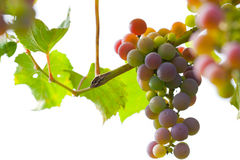 Bunch of grapes on vine. Bunch of fresh grapes on vine with white background Stock Images