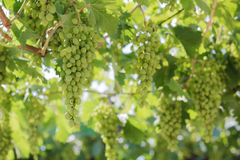 Bunch of grapes on a vine Stock Images