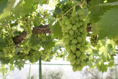 Bunch of grapes on a vine Stock Photo