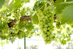 Bunch of grapes on a vine Royalty Free Stock Photo
