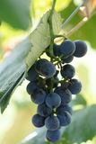 Bunch of grapes on vine Stock Photography
