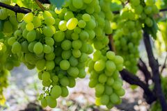 Bunch of grapes on the vine. Cultivation of vineyard winemaking viticulture stock photography