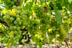 Bunch of grapes on the vine. Cultivation of vineyard winemaking viticulture royalty free stock image