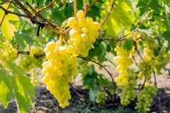 Bunch of grapes on the vine. Cultivation of vineyard winemaking viticulture stock images