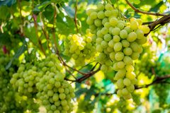 Bunch of grapes on the vine. Cultivation of vineyard winemaking viticulture royalty free stock photography