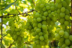 Bunch of grapes on the vine. Cultivation of vineyard winemaking viticulture stock photo