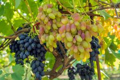 Bunch of grapes on the vine. Cultivation of vineyard winemaking viticulture stock photos