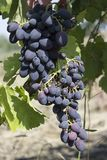 Bunch of grapes on the vine stock image