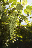 Bunch of grapes in the vine Stock Image