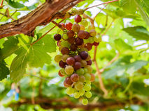 Bunch of  grapes on the vine with green leaves Royalty Free Stock Photography