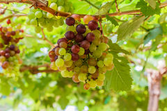 Bunch of  grapes on the vine with green leaves Royalty Free Stock Photo