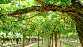 Bunch of grapes on the vine with green leaves Stock Photography