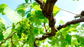 Bunch of grapes on the vine with green leaves Royalty Free Stock Image