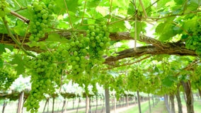 Bunch of grapes on the vine with green leaves Royalty Free Stock Photos