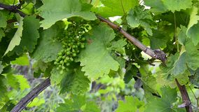 Bunch of grapes on the vine with green leaves in development phase