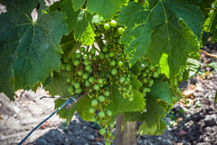 Bunch of grapes on the vine with leaves Royalty Free Stock Photo
