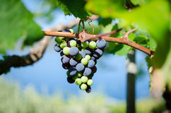 Bunch of grapes on the vine Royalty Free Stock Images