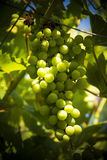 Bunch of grapes on the vine ripening in sunshine Stock Image