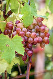 Bunch of grapes on a vine in the sunshine. / The winegrowers grapes on a vine / red wine Royalty Free Stock Image