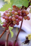 Bunch of grapes on a vine in the sunshine. / The winegrowers grapes on a vine / red wine Stock Image