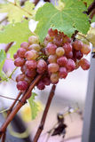 Bunch of grapes on a vine in the sunshine. / The winegrowers grapes on a vine / red wine Stock Images