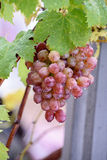 Bunch of grapes on a vine in the sunshine. / The winegrowers grapes on a vine / red wine Royalty Free Stock Photography