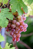 Bunch of grapes on a vine in the sunshine. / The winegrowers grapes on a vine / red wine Royalty Free Stock Photos