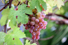Bunch of grapes on a vine in the sunshine. / The winegrowers grapes on a vine / red wine Stock Photo