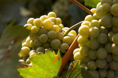 Bunch of grapes on the vine Royalty Free Stock Photo
