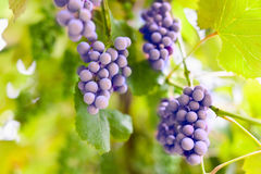 Bunch of grapes in a vinery. Closeup of bunch of grapes in a winery among leaves Stock Photo