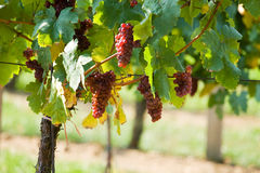 A bunch of grapes - vineyard Stock Image
