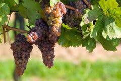 A bunch of grapes - vineyard Royalty Free Stock Photos