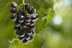 Bunch of grapes in vineyard Royalty Free Stock Photos
