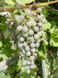 Bunch of grapes in the vineyard royalty free stock photography