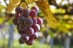 Bunch of grapes in the vineyard Royalty Free Stock Photo