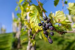 Bunch of grapes on a vineyard royalty free stock image