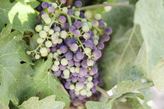 Bunch of grapes in a vineyard Royalty Free Stock Photo