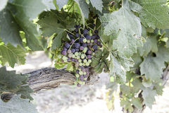 Bunch of grapes in a vineyard Stock Images