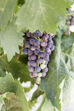 Bunch of grapes in a vineyard Stock Photos