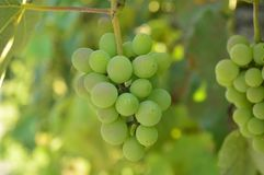 Bunch of grapes in a vineyard in Italy royalty free stock photography