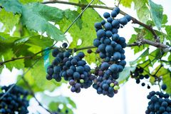 Bunch of grapes in vineyard. Stock Photos
