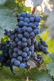 Bunch of grapes in the vineyard on a summer day Stock Photography