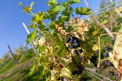 Bunch of grapes on a vineyard stock photos