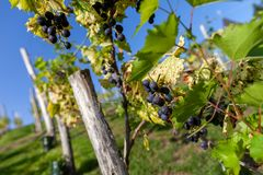 Bunch of grapes on a vineyard royalty free stock images