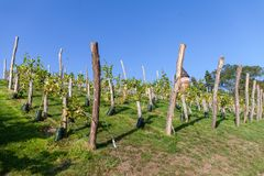 Bunch of grapes on a vineyard royalty free stock photography